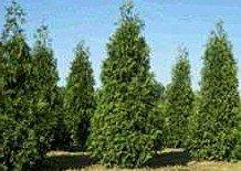 25-Thuja-Green-Giant-Arborvitae-10-16-Tall-Trees-0