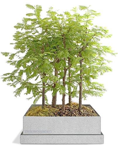 Dawn-Redwood-Forest-Bonsai-Box-0-1