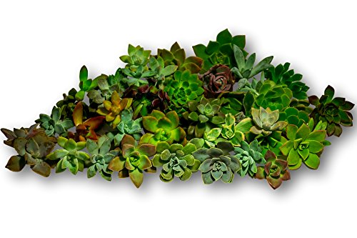 Fat-Plants-San-Diego-45-Gorgeous-All-Rosette-Succulent-Cuttings-0