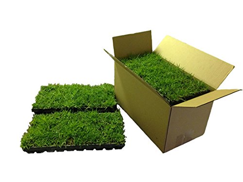 Palmetto-St-Augustine-Grass-Plugs-Box-of-72-0