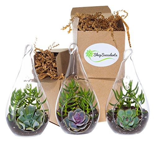 Shop-Succulents-Decorative-Glass-Succulent-Design-Trio-0
