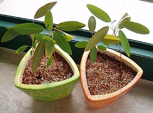 100-grams-Dancing-Grass-Telegraph-Plant-Codariocalyx-motorius-0-2