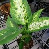 Splash-Dieffenbachia-Plant-Houseplant-Indoor-Fresh-Air-Filter-Toxins-Best-Gift-0-1