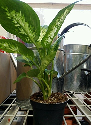 Splash-Dieffenbachia-Plant-Houseplant-Indoor-Fresh-Air-Filter-Toxins-Best-Gift-0